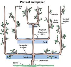 parts of espalier tree