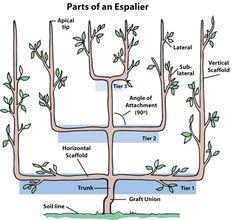 parts of espalier tree
