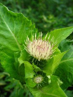 OSTROŻEŃ WARZYWNY Cirisium oleraceum   [ang: bull thistle, fr: crise des endroits cultives, niem: Kohl-Kratzdistel]