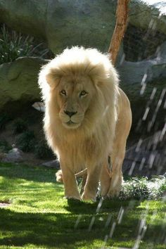 Aslan started it.Now i have this things for cats. Animals And Pets, Funny Animals, Cute Animals, Beautiful Creatures, Animals Beautiful, Big Cats, Cats And Kittens, Lion And Lioness, Beautiful Lion
