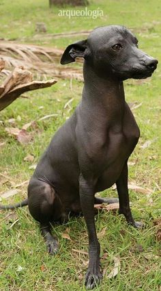 #xoloitzcuintli Unique Dog Breeds, Rare Dog Breeds, Popular Dog Breeds, Chinese Crested Hairless, Mexican Hairless Dog, Hairless Animals, Beverly Hills Chihuahua, All Dogs, Beautiful Creatures