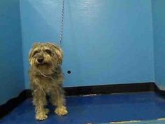FRANCE is an adoptable Schnauzer Dog in New York, NY.  ...