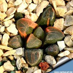 Haworthia bruynsii f. variegata
