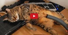 #Bobo The #Cat Loves #Vacuum Cleaners !!
