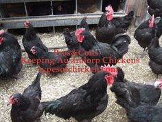 PROS & CONS of Keeping Australorp Chickens! — Types of Chicken