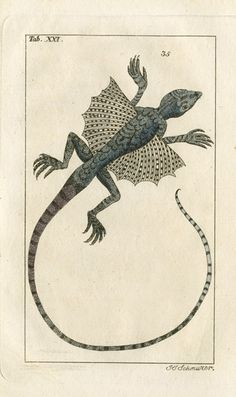 wapiti3:  Flying Dragon on Flickr.  Gottlieb Tobias Wilhelm Reptile  Amphibian Copper Engravings 1810