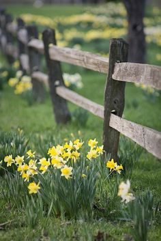 Daffodils planted by an old wood fence