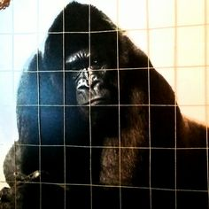 Gorilla köysihäkissä