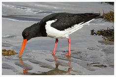 Oyster Catcher - Islay of Islay