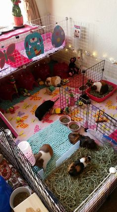 Anything Guinea Pig Diy Guinea Pig Cage, Guinea Pig Hutch, Guinea Pig House, Pet Guinea Pigs, Guinea Pig Care, Bunny Cages, Rabbit Cages, Bunny Room, Guniea Pig