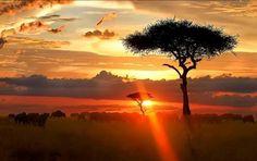ソーセージノキ、 Kigelia africana Kenya-1