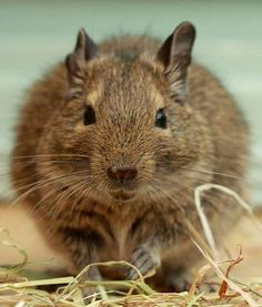 Degus are smaller rodents native to South America and are related to guinea pigs. Domesticated degus... - Mom.me