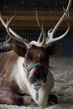 Resting Up for the Big Day | Mr. Reindeer