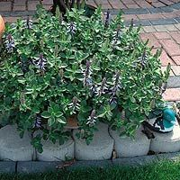 Keep the cats out of the kids sandbox with Coleus Canina (aka Scaredy Cat Plant): An attractive foliage plant, Coleus canina also has a smell abhorrent to cats. The plant has striking grey-green foliage, which gives off a strong aroma especially when touched and in summer it produces heads of lovely pale blue flowers. If planted in a container this can be moved around the garden protecting different areas from cats. Thankfully it only smells to humans when touched.