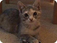 HILLSBORO, OR - Domestic Shorthair. Meet MILLIE, a cat for adoption. http://www.adoptapet.com/pet/13525877-hillsboro-oregon-cat