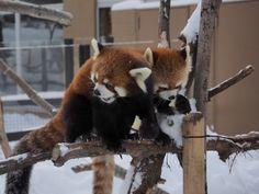 リンゴタイム中のエイタくんとギンちゃんです♪  Red pandas レッサーパンダ 小熊猫