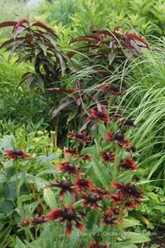Rudbeckia 'Cherry Brandy' with a seed-grown, red-leaved Prunus persica; Nancy J. Ondra at Hayefield
