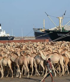Hundreds of camels wait at Mogadishu's seaport in Somalia to be exported to Saudi Arabia.