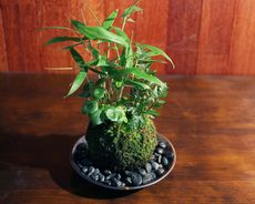 Japanese foliage plant そのまま飾れる苔山「笹よせ」