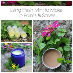 Using Fresh Mint to Make Lip Balms & Salve Recipes) - Using Fresh Mint to Make Lip Balms & Salve Recipes) herbsandoilshub.c… Learn how to make Spearmint Lip Balm.Cocoa Mint Lip Balm and Peppermint Salve. Lip Balm Recipes, Soap Recipes, Herb Recipes, Recipies, Salve Recipes, Mint Herb, Apple Mint, Mint Oil, Diy Lotion