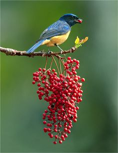 Vivid Niltava (Niltava vivida) is a species of bird in the Muscicapidae family. It is found in China, India, Laos, Myanmar, Taiwan, Thailand, and Vietnam.