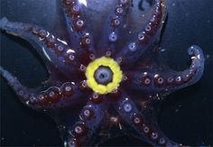 Unusual Offshore Octopods: Lady Octopus Attracts Mates with a Glowing Kisser: The bioluminescent ring on a female Bolitaena pygmaea; image courtesy of Michael Vecchione/NOAA/Smithsonian Institution