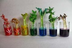 "Rainbow Celery Experiment and Craft: This experiment allows you and your child to talk about the circulatory system and ""capillary"" action. The small ""vessels"" in the celery stalks carry the water and color to the leaves, like the way blood travels through your body."