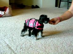 "Maggie the Miniature Schnauzer is trying on her life jacket for the first time and having a little trouble moving around in it. And by ""a little trouble"" we mean ""she falls over a lot.""  Luckily she has a supportive family to help make the experience less stressful."