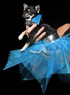 This chihuahua  is ready for her quinceanera! <3