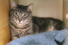 Chipper has been adopted from Seattle Humane http://www.seattlehumane.org/adoption/cats