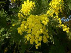Pianta di mimosa - Feste e ricorrenze - Sfondi Desktop GRATIS