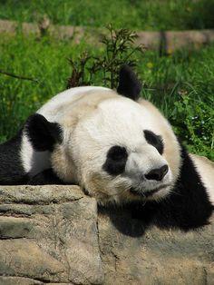 Mei Xiang by geopungo, via Flickr #pandas #pandalovers #animals