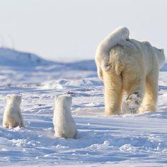Follow @Natgeo.Wildlife for more amazing nature and wildlife photos!  A Happy Family Of Polar Bears | Photography by ©Nik Zinoviev #WildlifePlanet