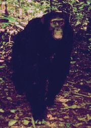 The Bili apes or Bondo mystery apes are large chimpanzees like that inhabit Bili Forest in the Democratic Republic of the Congo, different from the benobo and the chimpanzee.