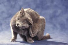 La DAPP est la principale cause de démangeaison chez le chat. Rare Disorders, Photo Chat, Russian Blue, Art Lessons, Panther, Pets, Pictures, Pet Tips, Images