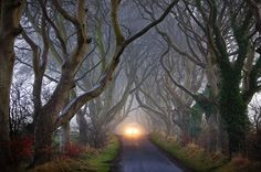 Antrim, Northern Ireland these beautiful trees are over 300 years old
