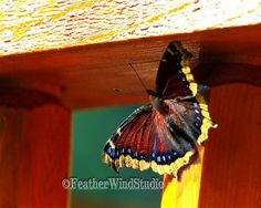 Hey, I found this really awesome Etsy listing at https://www.etsy.com/listing/210774805/mourning-cloak-nature-photography-fine