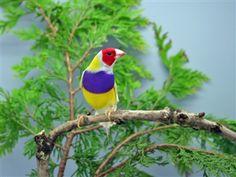Vogelproblemen |Gouldamadine