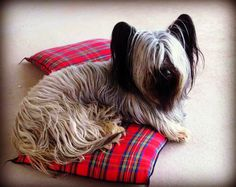 my skye terrier age 2 and half,he wasnt brushed.he cleans up quite handsomely Skye Terrier, Terriers, Aragorn, Animal Pictures, Dogs, Favorite Things, Animals, Images Of Animals, Animales