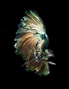 #betta #bettafish #siamesefightingfish