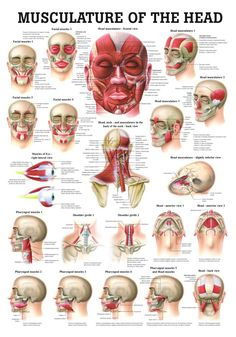 Muscles of the Head Laminated Anatomy Chart pnf stretching watches Head Anatomy, Human Body Anatomy, Human Anatomy And Physiology, Muscle Anatomy, Anatomy Study, Facial Muscles Anatomy, Skull Anatomy, Human Anatomy Chart, Nerve Anatomy