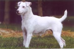 Parsons Jack Russell | Jack russell terrier par Mayo Land