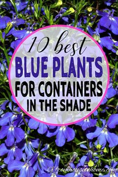 10 Best Blue Plants For Containers In The Shade I love these blue flowers for containers in the shade. I am always looking for ideas for the pots on my porch and these plants will look beautiful in my planters all summer long. Shade Garden Plants, Blue Plants, Tall Plants, Flowering Plants, Garden Pots, Summer Plants, Garden Oasis, Blue Garden, Plants Indoor