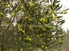 www.emlakair.com Zeytin Bahcesi  Olive Tree Garden