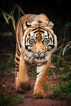 Image result for walking tiger