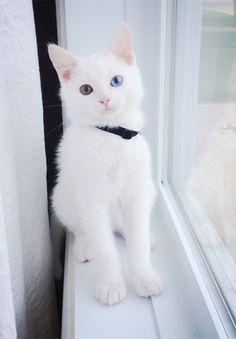 Cat with odd eyes