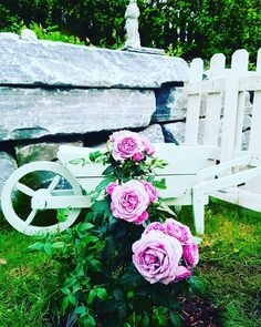 Roses In My Backyard  #beautiful #roses #romantic #backyard #gardening #love #mylife #myhome #instadaily #photooftheday #instalike #instafollow #inspiring #pastel #colorful #instaday #interiorandhome #interiorforall #instafollowers #romantic #light #pastel #instamoment #all_shots #style #smile #nordiskehjem #