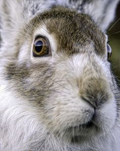 Mountain Hare -)