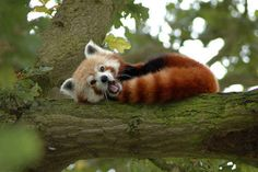Red pandas are pretty shy and spend most of their lives alone, snuggled up in trees and foraging for tender bamboo.