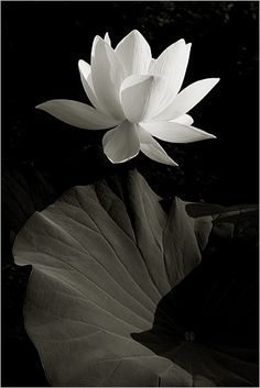 White Lotus Flower in Black-and-white